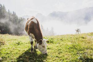 Eine Kuh grast auf einer Weide im Kufsteinerland